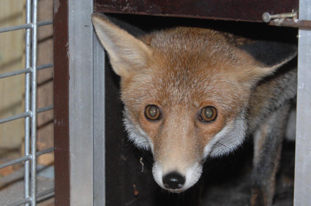 Fuchs schaut aus Falle