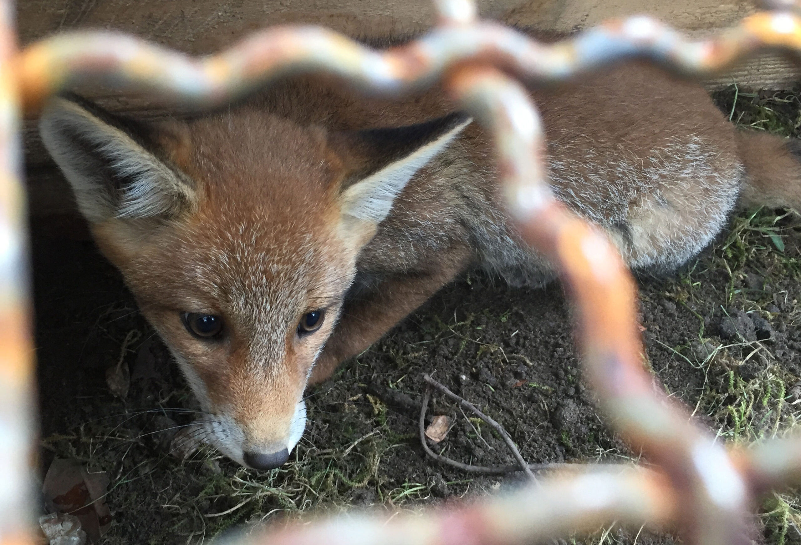 Fuchs in Falle gefangen