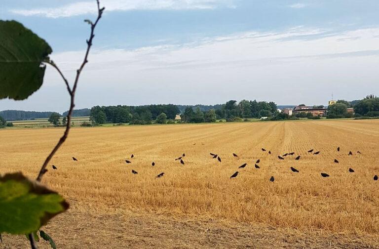 Lockkrähen stehen auf einem Stoppelfeld