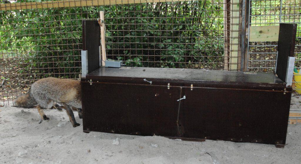 Fuchs geht in Falle